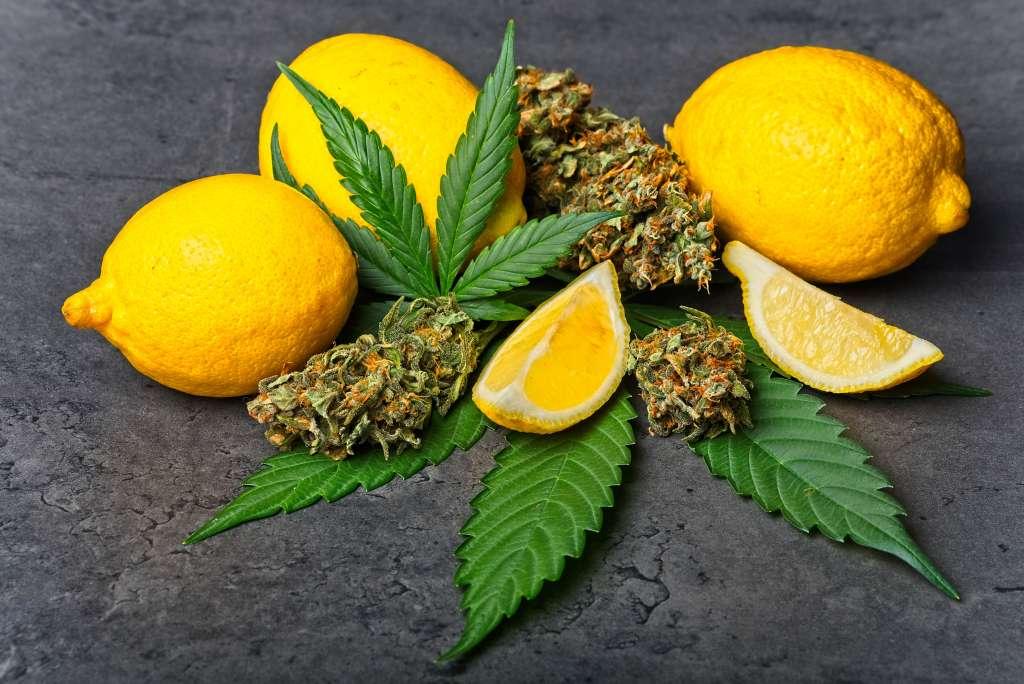 A limonene heavy cannabis strain alongside some lemons.