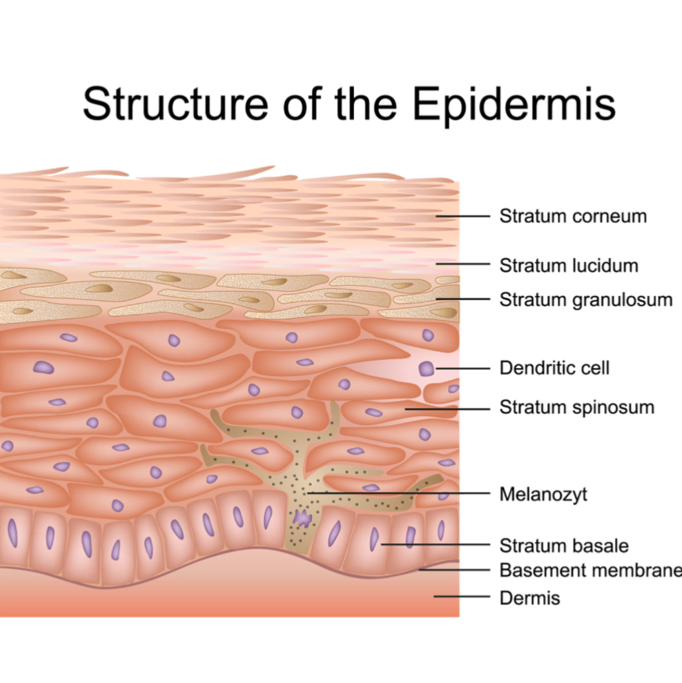The various layers of the skin.