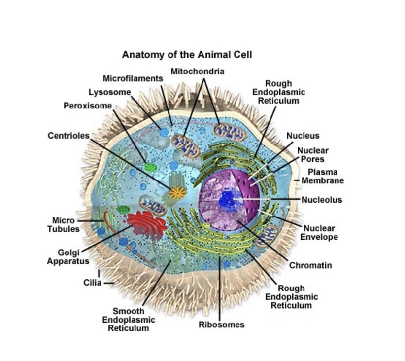 An illustration of a cell.