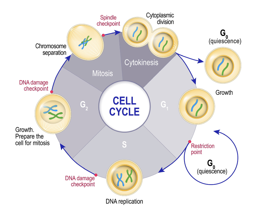 A depiction of a cell's life cycle.