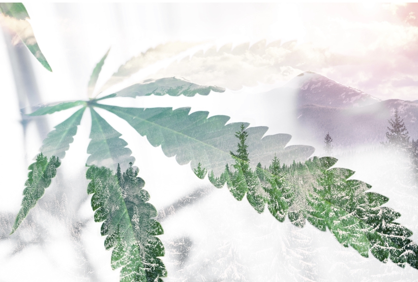 Cannabis leaves as a filter over a forest.