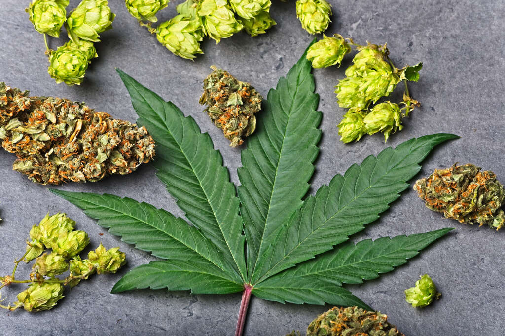 A cannabis leaf, some flower & hops.
